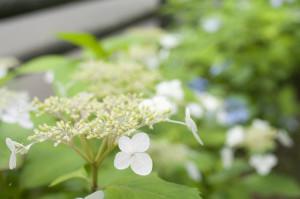 紫陽花(白)