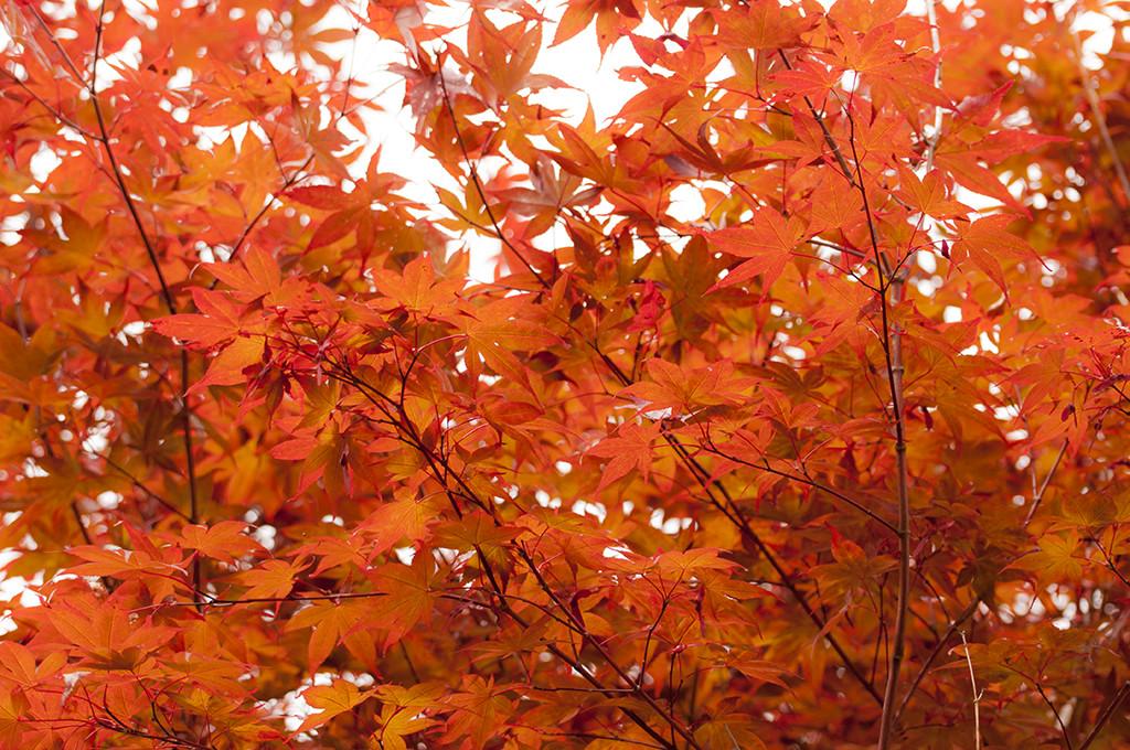 紅葉が始まってます!